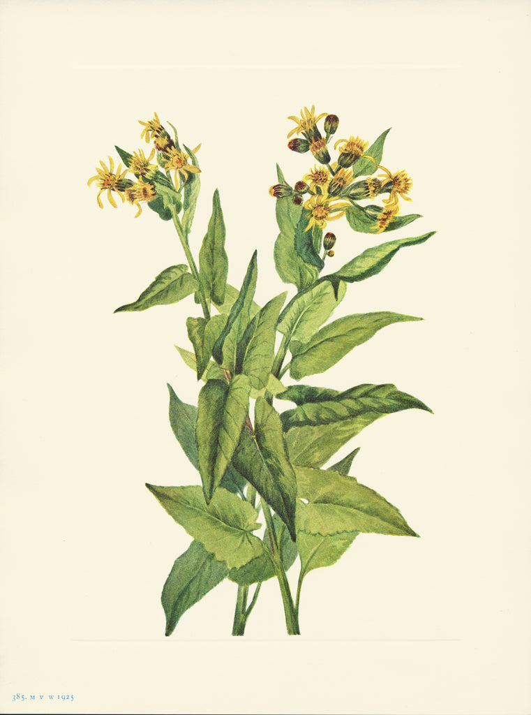 Arrowleaf Groundsel - Print - Stomping Grounds
