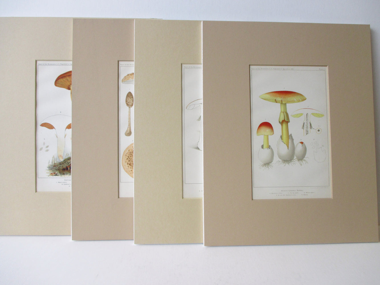 Four Matted Mushroom Prints (Originals) - Amanita caesarea, Amanita muscaria, Cortinarius turmalis, Parasol mushroom - Original Prints - Stomping Grounds