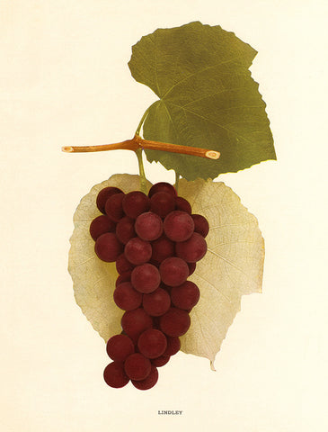 Lindley Grapes