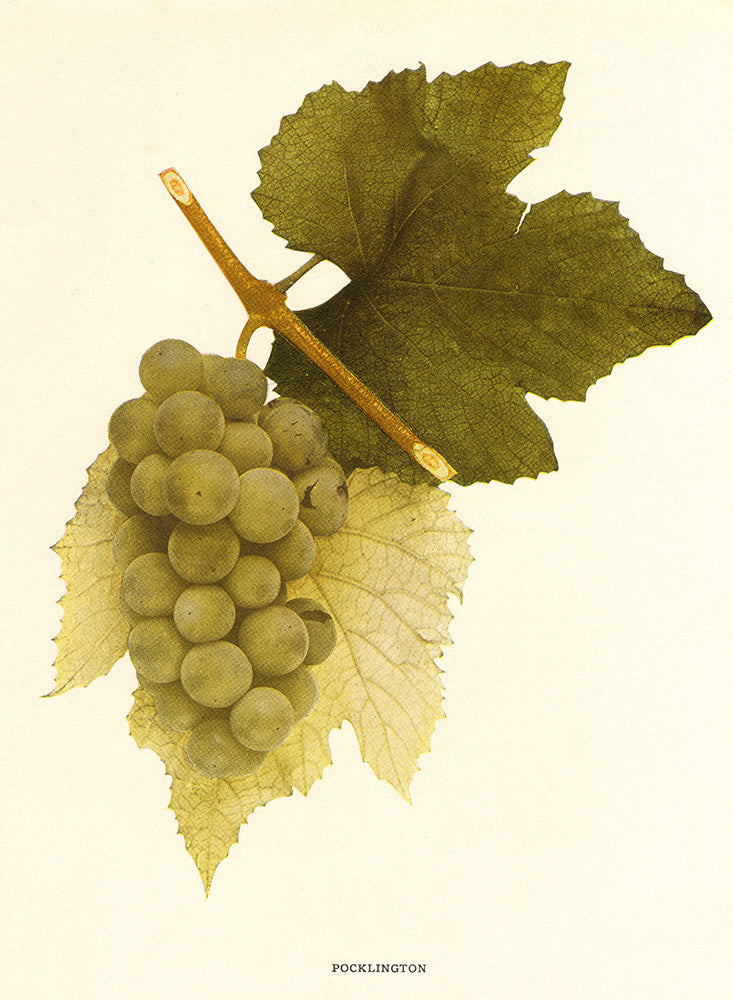Pocklington Grapes - Print - Stomping Grounds
