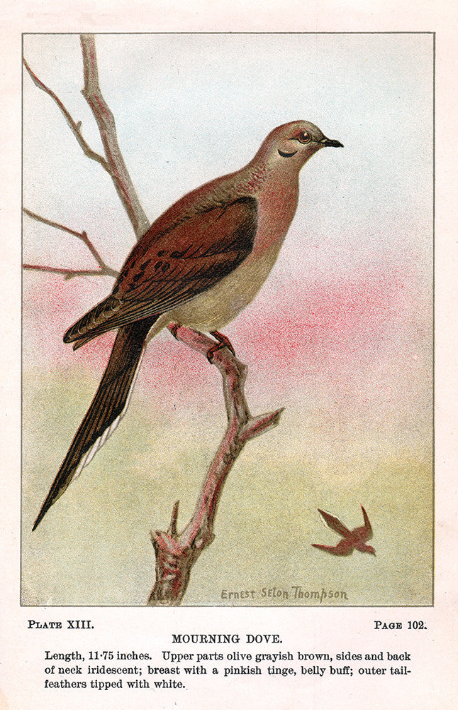 Mourning Dove - Print - Stomping Grounds