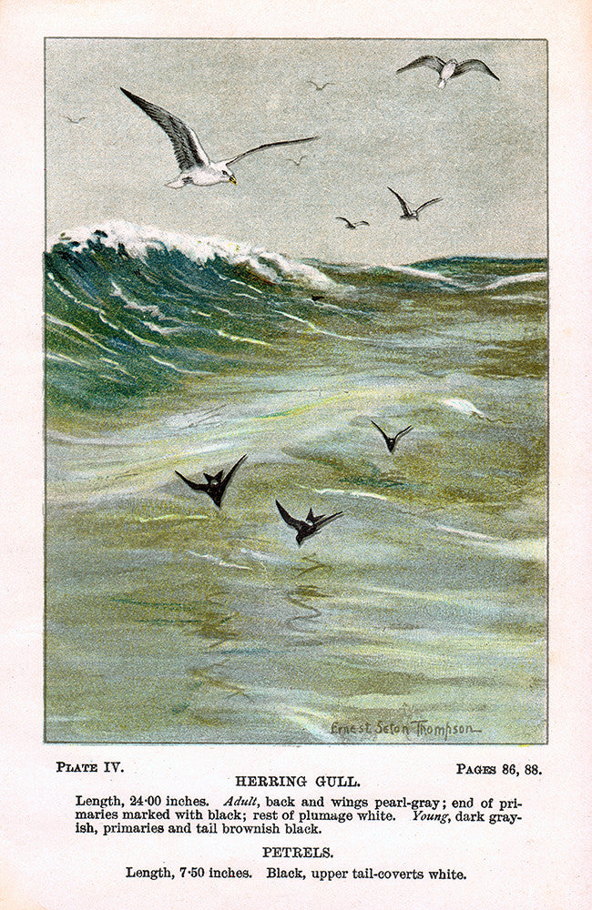 Herring Gull - Print - Stomping Grounds