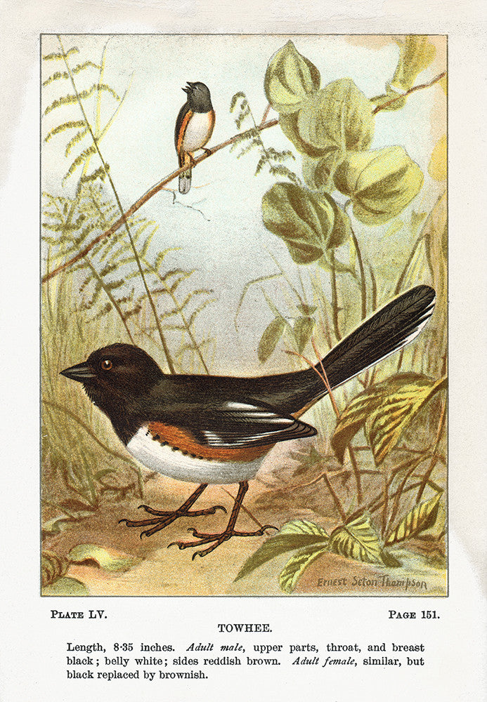 Towhee - Print - Stomping Grounds