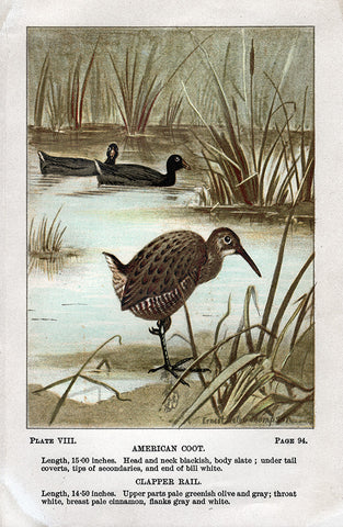 American Coot and Clapper Rail