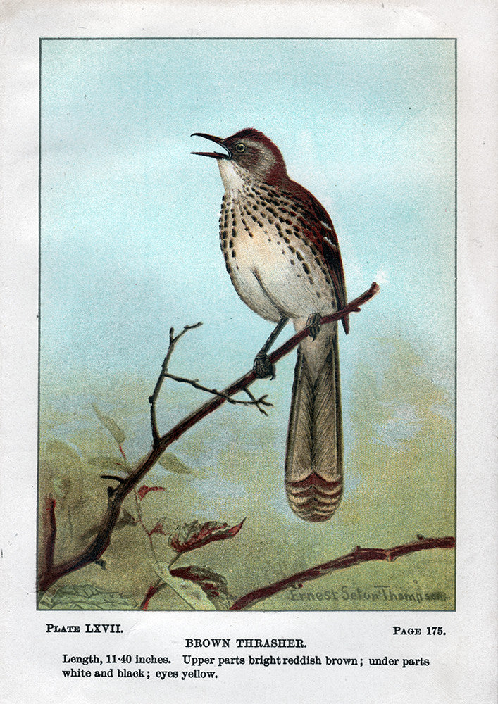 Brown Thrasher - Print - Stomping Grounds