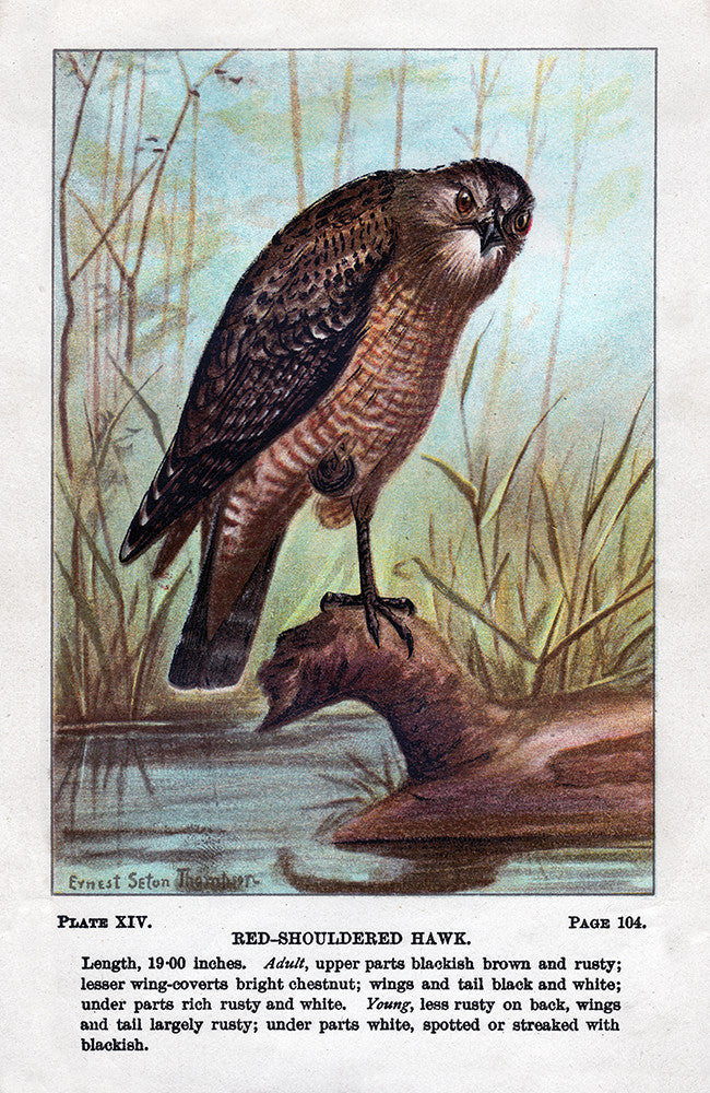 Red-Shouldered Hawk - Print - Stomping Grounds