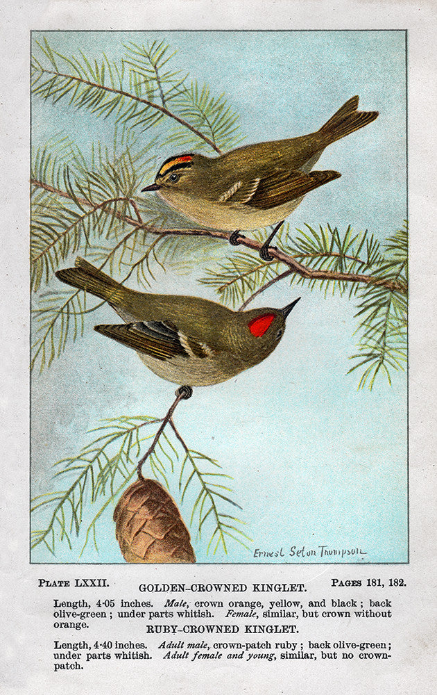 Golden- Crowned and Ruby- Crowned Kinglet - Print - Stomping Grounds