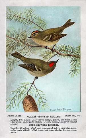 Golden- Crowned and Ruby- Crowned Kinglet