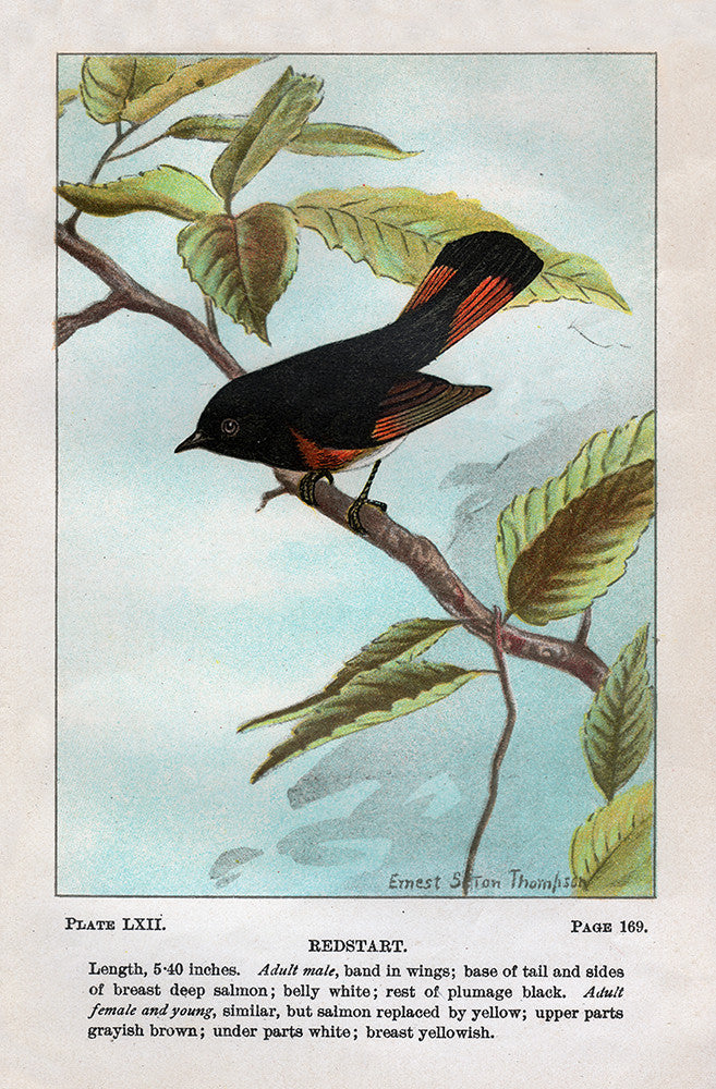 Redstart - Print - Stomping Grounds