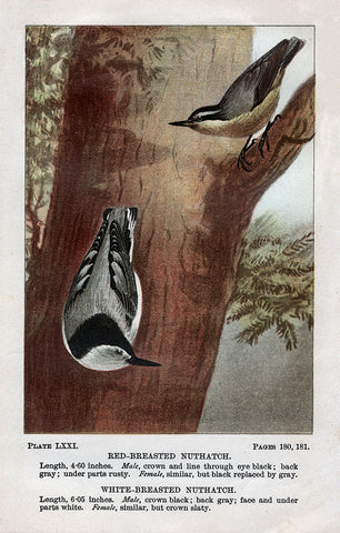 White- Breasted and Red- Breasted Nuthatch