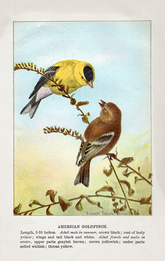 American Goldfinch - Print - Stomping Grounds