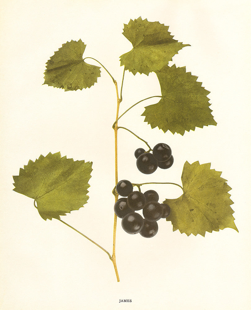 James- Grapes of New York - Print - Stomping Grounds