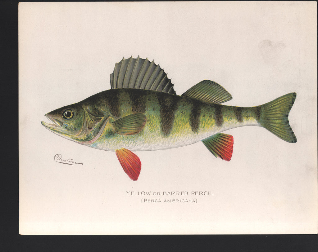 Yellow or Barred Perch