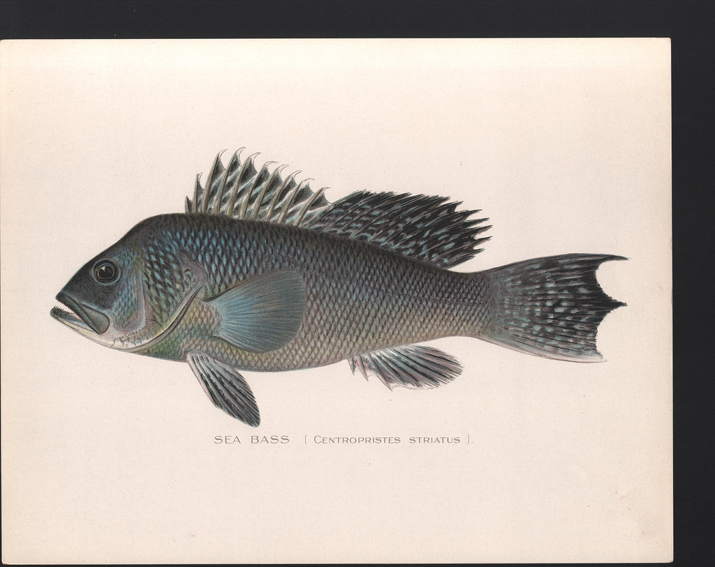 Sea Bass - Print - Stomping Grounds
