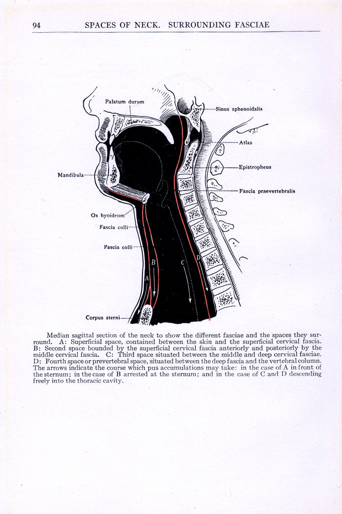 Section of the Neck