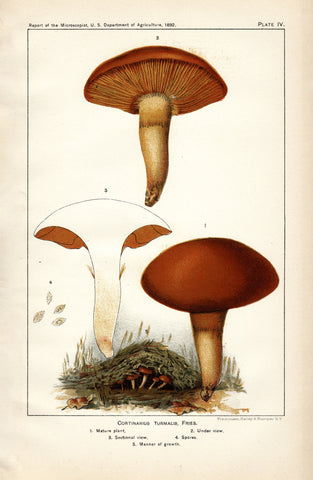 Cortinarius Turmalis, Fries