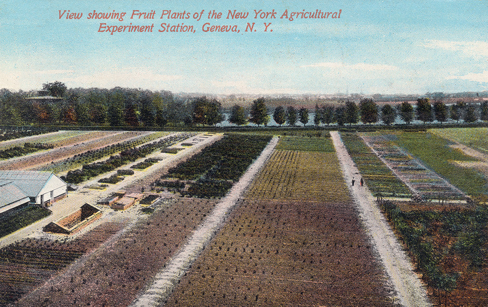 View Showing Fruit Plants of the New York Agricultural Experiment Station, Geneva, NY - Print - Stomping Grounds