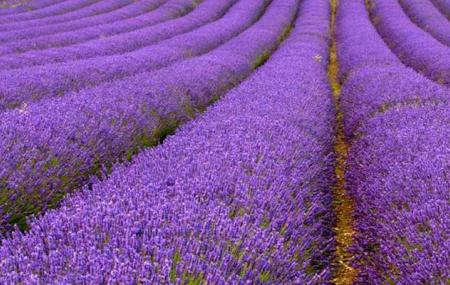 Lavender fields at Wexford Lavender Farm
