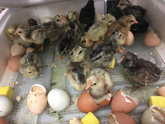 Chicks hatching in our classroom Crescent Mountain Soap