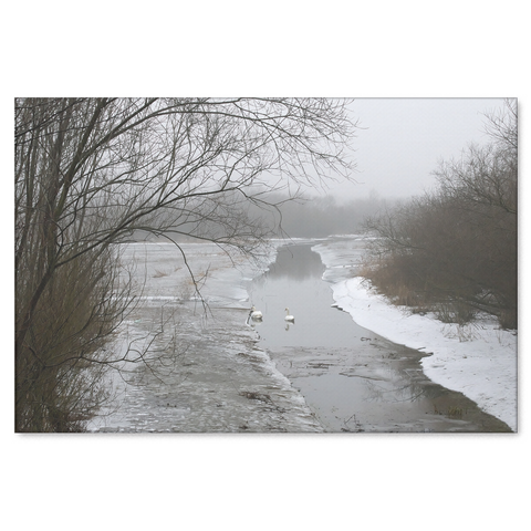 Swans in Winter Stream - Canvas Print