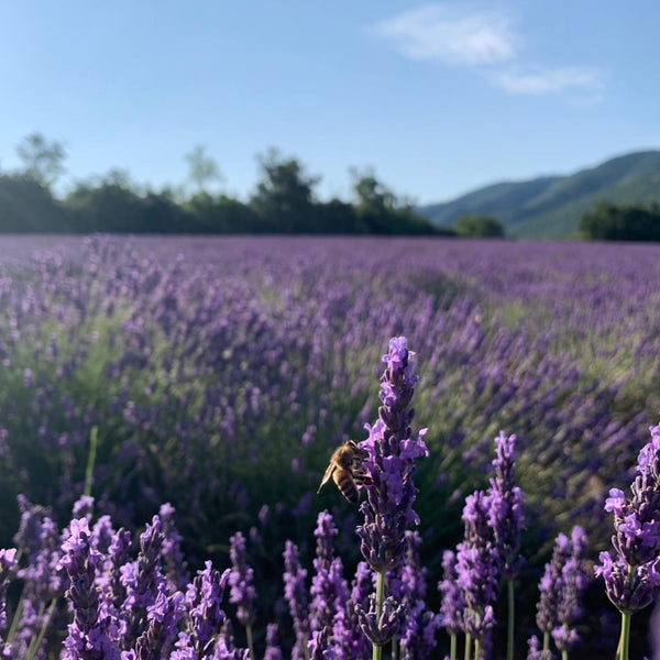 lavender fields from Provence