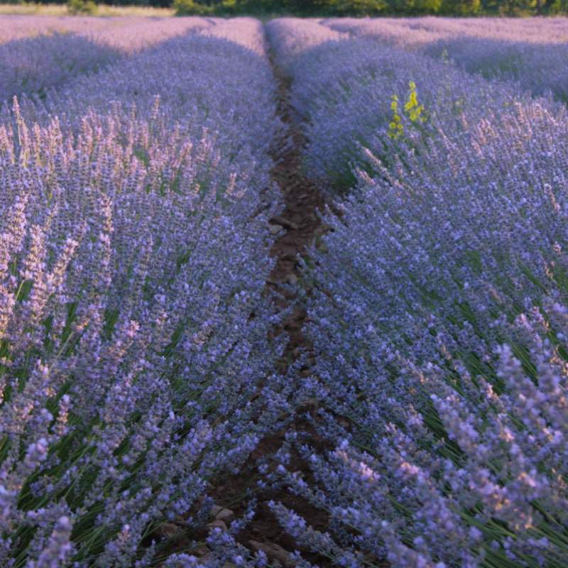 Fields of Lavender in the Luberon