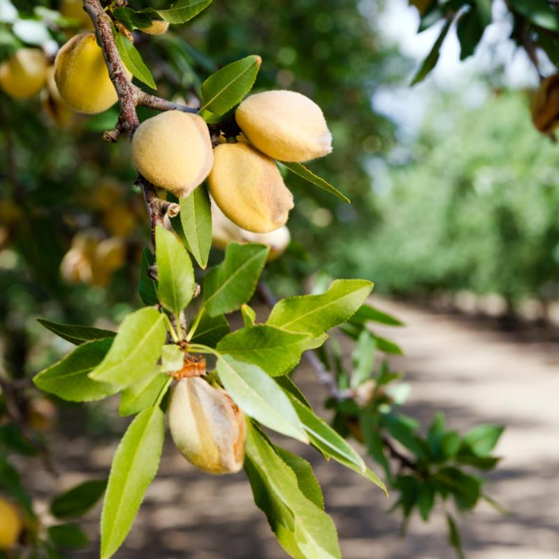 Almonds from Provence, on almond tree