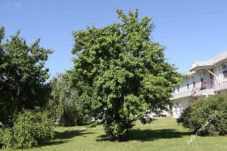 'George Kennedy' Ussurian Pear