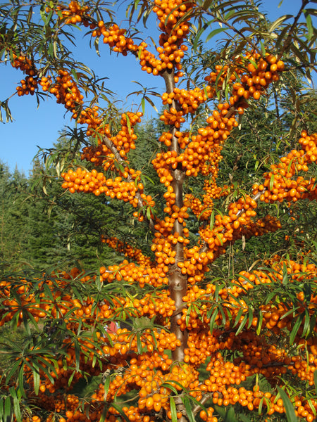 'Indian-Summer' Seabuckthorn