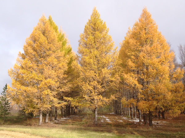 'Lindquist' Siberian Larch