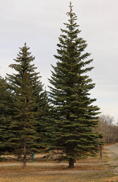 'Harry Lennox' White Spruce