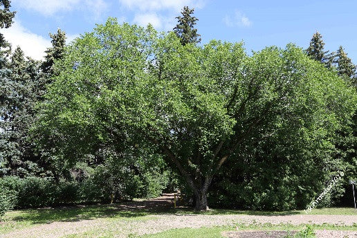 'MacDonald' Manitoba Maple (Boxelder)