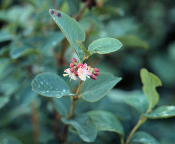 'Pintail' Western Snowberry