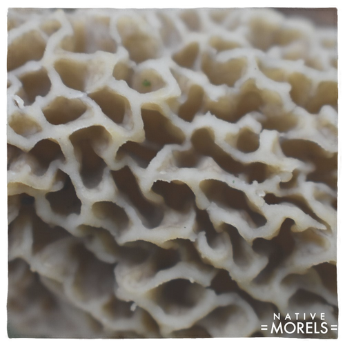 Morel Texture Pet Bandana - Native Morels