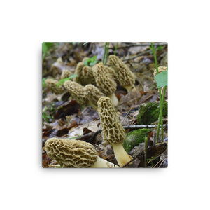 """Sociable Morels"" Canvas Print - Native Morels"