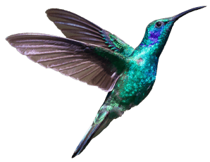 hummingbird left loading screen
