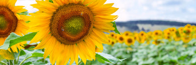 High Oleic Sunflower Oil: Long Name, Great Benefits