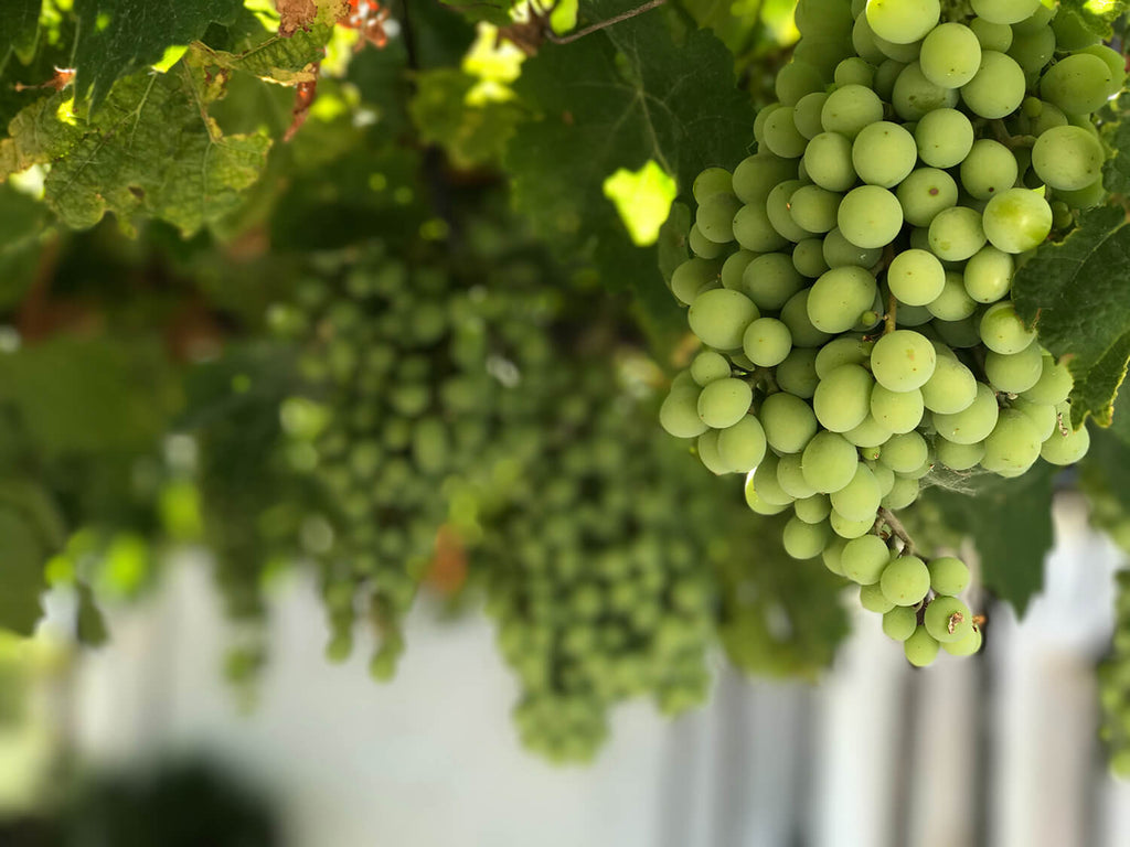 grapes on the vine