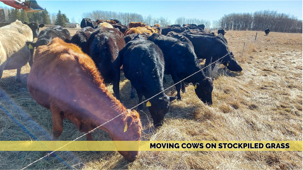 Moving the Cows on new Stockpiled Grass 4/5/21