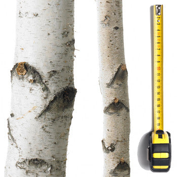 Birch Pole (3m-4.0m Length)