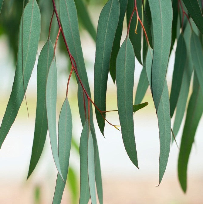 Young Eucalyptus Lemon leaves