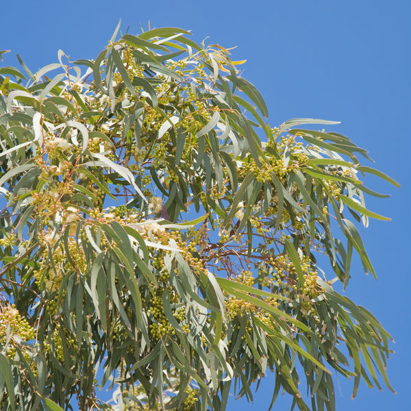 Eucalyptus Radiata, Wildcrafted