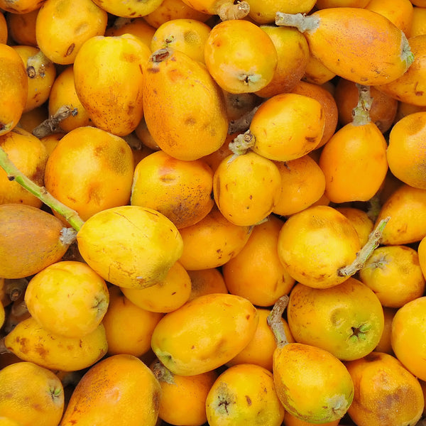 TIMELESS Virgin Organic Marula Oil is cold pressed from the seeds of the ripe marula fruits.