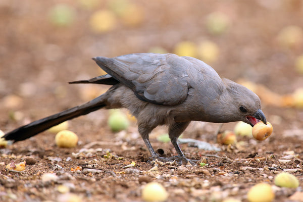 Grey lourie feasts on ripe marula fruits.