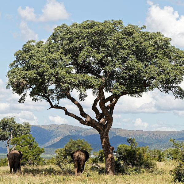 Marula tree in Namibia provides shade for elephants.
