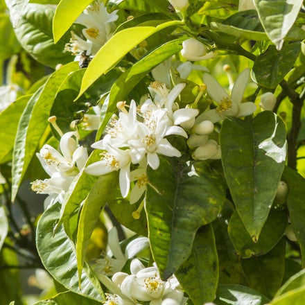 Orange blossoms (Neroli)