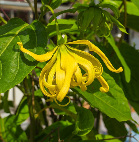 Ylang Ylang Extra, Premium Wildcrafted, Fair Trade