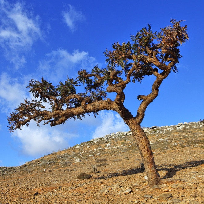 Frankincense tree on a slope in Somalia.  Frankincense resin is collected and distilled for pure essential oil.  TIMELESS Essential Oils