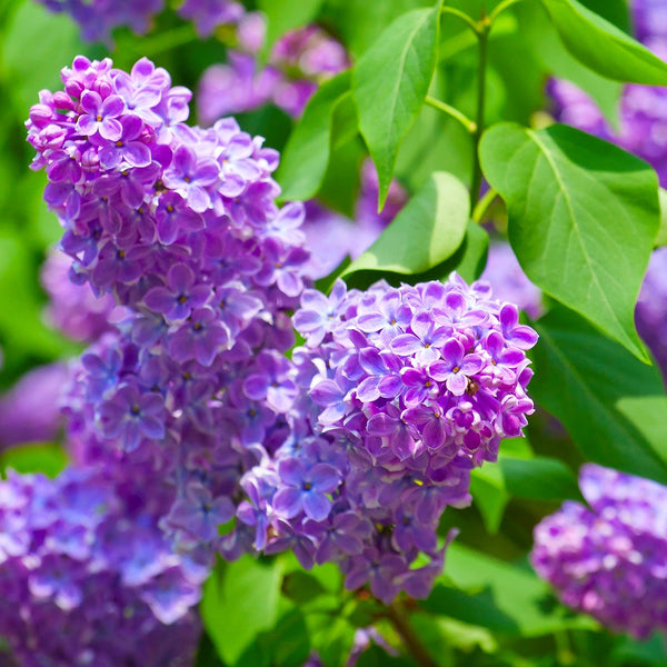 Asian Lilac