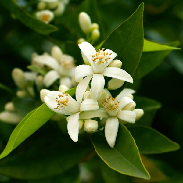 Neroli (Orange Blossom)